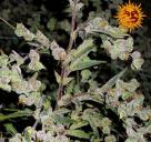 Dr. Grinspoon™ by Barney´s Farm