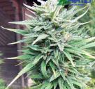 E-Rocket je konopnou odrůdou od Blue Hemp / Cannapedia.cz / E-Rocket cannabis strain by Blue Hemp