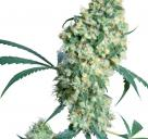 Cannapedia.cz: Ed Rosenthal Super Bud od Sensi Seeds