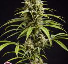 Fruity Jack / Jack El Frutero by Philosopher Seeds
