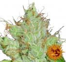 G13 Haze Regular™ by Barney´s Farm