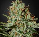Alaskan Ice by Green House Seeds / Alaskan Ice od Green House Seeds