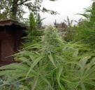 Haze je výborná marihuana vyšlechtěná v semenné bance Blue Hemp / Cannapedia / Haze by Blue Hemp marijuana seeds