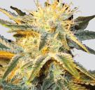 Marijuana strain Ice by Nirvana Seeds on Cannapedia.cz