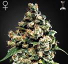 Jack Herer od Green House Seeds