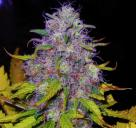 Jock Horror by Nirvana Seeds