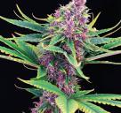 Purple Kush by Kannabia