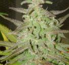 Maroc by Female Seeds