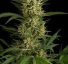 Cannapedia: Skvělá odrůda konopí Amnesia Auto od seedbanky World of Seeds vás potěší