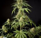 Philo Skunk / Gokunk by Philosopher Seeds
