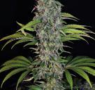 S.A.G.E.® CBD by TH Seeds