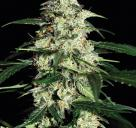 Skunk Auto by Strain Hunters Seed Bank