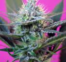 Cannapedia: Odrůda Speed Auto od seedbanky Sweet Seeds