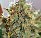 Spliff Cheese by Spliff Seeds