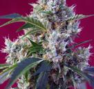 Indigo Berry Kush 1 by Sweet Seeds