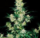 AK-49 by Vision Seeds