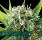 Cannapedia: Odrůda konopí Amnesia od seedbanky Vision Seeds