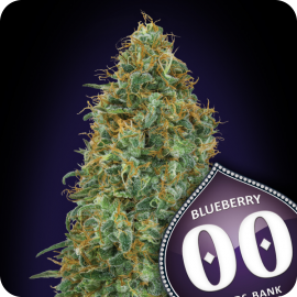 Blueberry by 00 Seeds