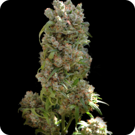 Great marijuana strain White spanish by VIP Seeds - Cannapedia - Výborná odrůda marijuany White Spanish od VIP Seeds