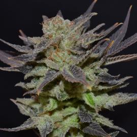 Odrůda marihuany Auto Lavender od CBD Seeds na Cannapedia.cz