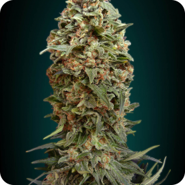 Afgan Skunk by Advanced Seeds