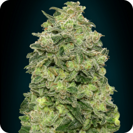 Auto Afghan Skunk by Advanced Seeds