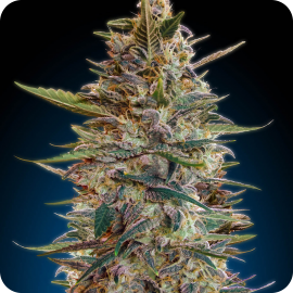 Auto Blue Diesel by Advanced Seeds