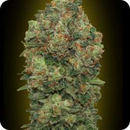 Auto Critical Soma by Advanced Seeds