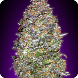 Auto NYC Diesel by Advanced Seeds