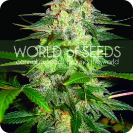 Cannapedia.cz konopná encyklopedie: Afghan Kush Ryder od World of Seeds
