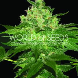 Afghan Kush od World of Seeds a další konopné odrůdy na Cannapedia.cz