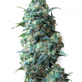 Cannapedia: Konopná semena Afghan Kush od seed banky White Label