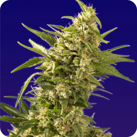 AK Automatic by Spliff Seeds