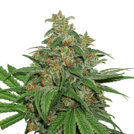 Ak 420 Auto by Seed Stockers