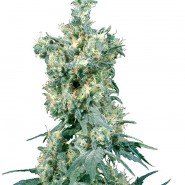Cannapedia konopná encyklopedie: American Dream od Sensi Seeds