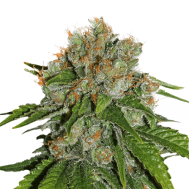 Amnesia by Seeds Stockers
