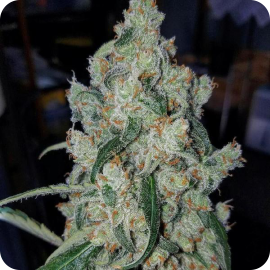 Armageddon by Homegrown Fantaseeds