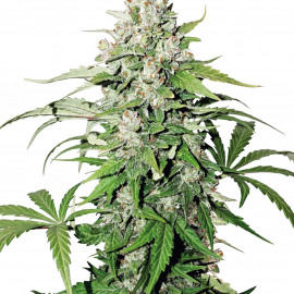 Auto Cinderella Jack® by Dutch Passion