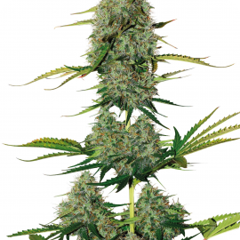 BCN Critical XXL Auto by Seed Stockers