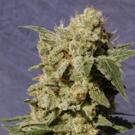 Cannapedia: překrásná palice odrůdy BCN Diesel od seedbanky Kannabia