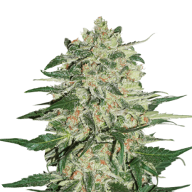 Big Bud Auto by Seed Stockers