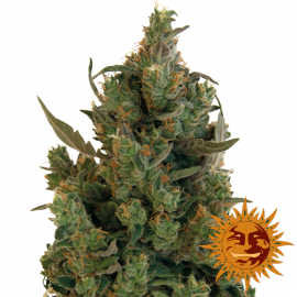Blue Cheese™ by Barney´s Farm