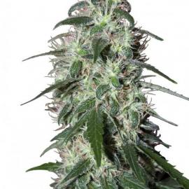 Buddha Seeds - Pulsar