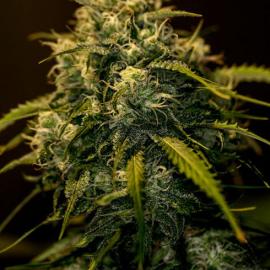 CBD+ Jack Diesel by Positronics Seeds