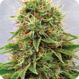 CBD Medi Kush by Spliff Seeds