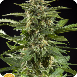 Cheesy Auto by Philosopher Seeds