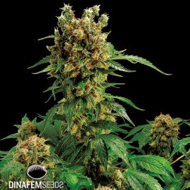 California Hashplant by Dinafem Seeds