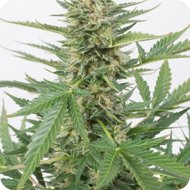 Cheese XXL Autoflowering by Dinafem Seeds