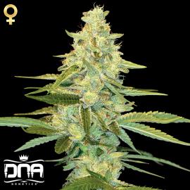 Cannapedia.cz: Konopná odrůda Cannalope Kush od DNA Genetics / Cannalope Kush marijuana strain by DNA Genetics