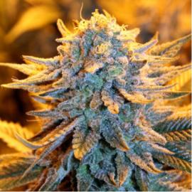 Cannapedia.cz: Dutch Aromatic je konopná odrůda od Spliff Seeds / Dutch Aromatic is marijuana strain by Spliff Seeds